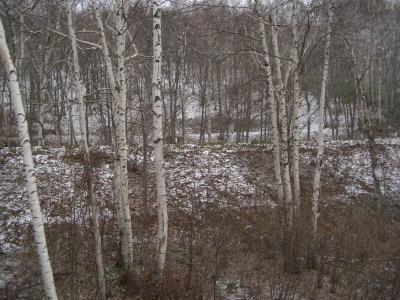 平庭高原の白樺のとこ