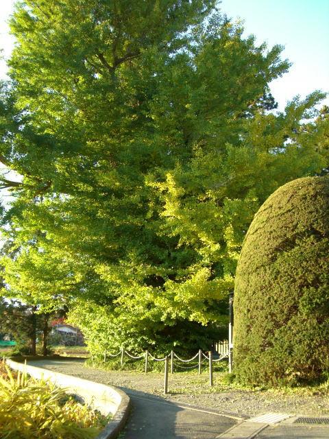 長泉寺の銀杏(イチョウ)
