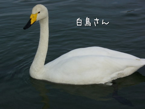 白鳥 画像