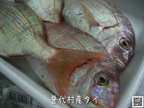 普代村産の鯛